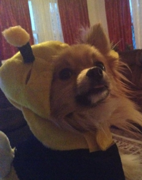 thumper the bumble bee pooch