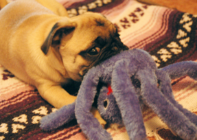Muffins the Pug and her favorite stuffed octopus